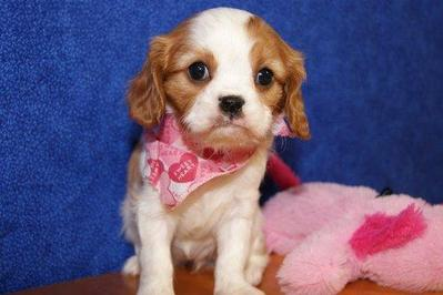 Cavalier King Charles Puppies for adoption