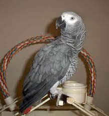 Extra Tamed African Grey Parrots On