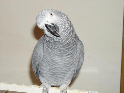top ranking bird ready for rehoming