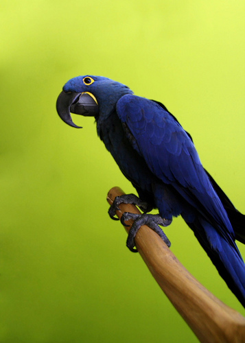 Macaw parrots available for free adoption