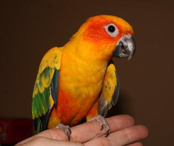 WE ARE OFFERING WELL TEAMED SUN CONURE , AFRICAN GREY PARROT