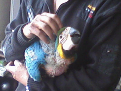 HAND REARED BABY MACAWS FOR SALE