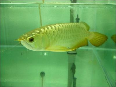 Quality Super red and many others Arowanas fish for Auction sale