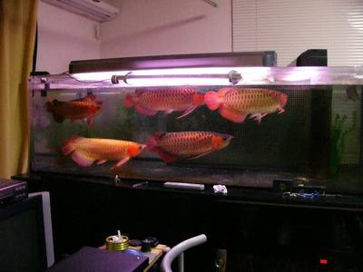 Magnificent Healthy Asian Red Arowana Fish For Sale