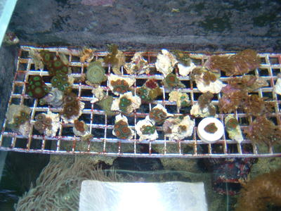 Cheap CORAL FRAGS  (30+ species) – only £3