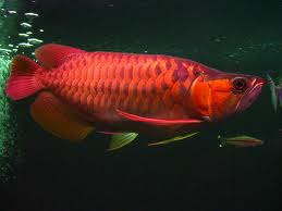 cuteRed Asian Arowana fishes for sale at a discount ($250)