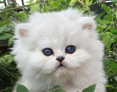 Stunning Lilac Colour point Persian Kitens