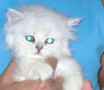 full pedigree persian kittens, 2boys 2 girls