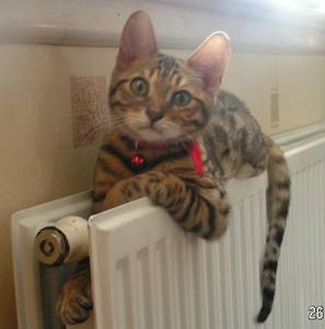 Missing in Gloucester Male Bengal