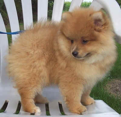 outstanding home trained Pomeranian puppies for sale