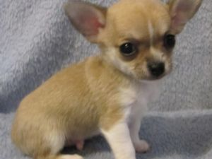 Healthy chihuahua puppies for adoption
