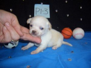 Cute chihuahua puppies for rehoming