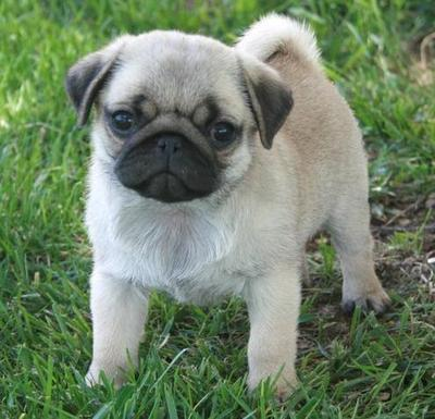 Excellant Champion Blood Lines Pug Puppies For Adoption