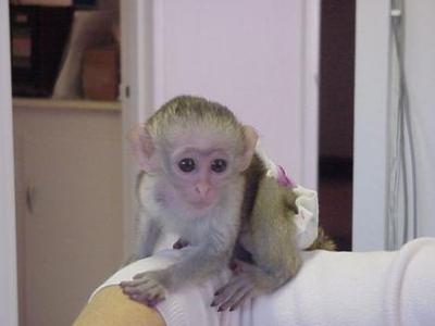 Lovely Capuchin Baby Monkeys For Good Homes
