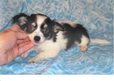 Lovely looking chihuahua puppy for nice homes