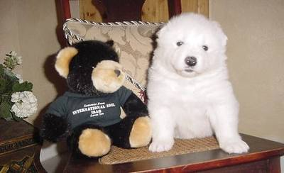 Samoyed puppies for sale in a beautiful home