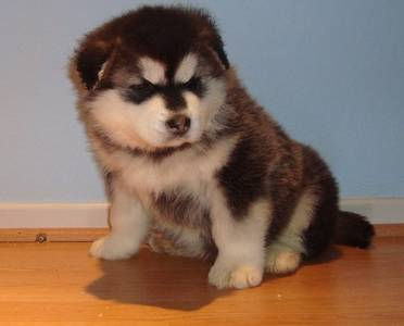 happy new year Alaskan Malamute puppy for a family gift