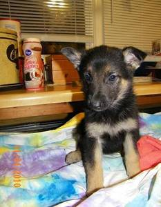 cute experience and smart German Shepherd puppy for experience home
