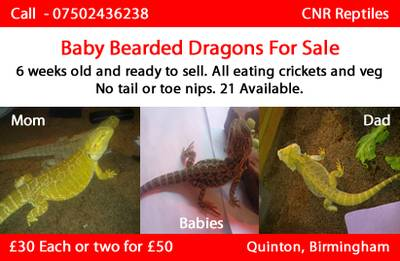 Baby Bearded Dragons For sale