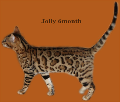 BENGAL KITTENS AND CATS FOR SHOW AND BREEDING