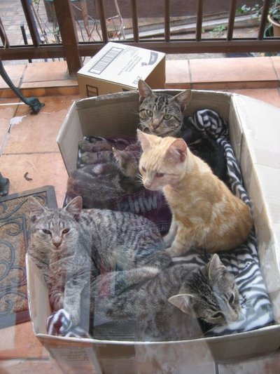 $60 for 6 months old kittens
