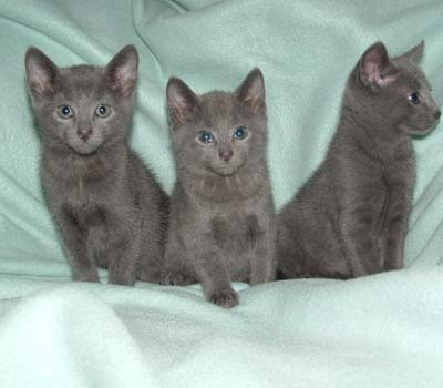 Russian kittens for adoption