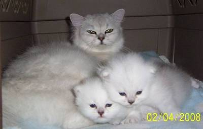Tiffanie PureBred kittens for sale