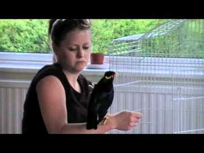 super intelligent Hill Mynah birds now ready for sale