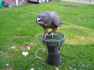 Purebred falcons and Eagle Sales