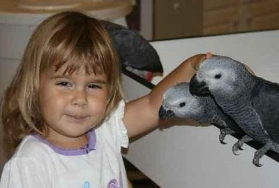 congo african greys for good home