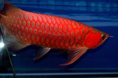 Grade A Quality Super Red Arowana Fish and Many others For Sale.