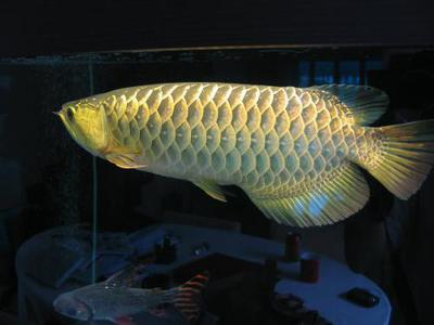 Best Quality Arowana Fishes For Sale at good prices.