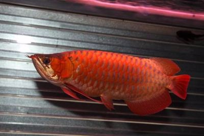 Premium Quality Super Red Arowana Fish and Many others For Sale.