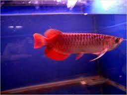 Top quality Grade A Asian Arowana fishes from genuine breeders