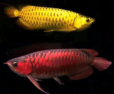 Chili Red Super Red Arowanas Available