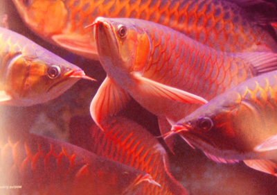 Super Red Arowana Fish and others available for sale.
