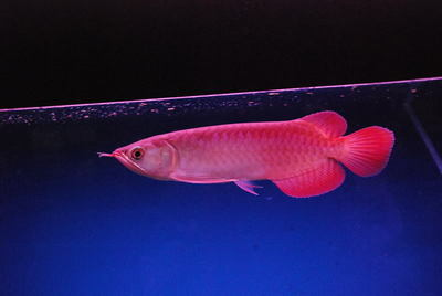 Best Quality Arowana Fishes For Supply.