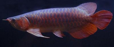 Blue Base , Cross Back and Golden Arowana Available....