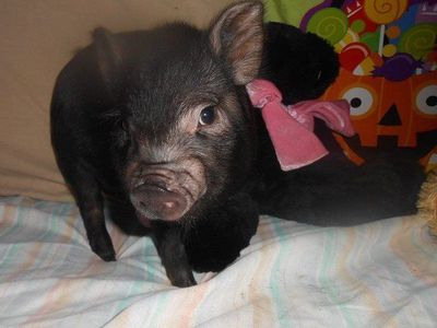 adorable micro mini and teacup piglets