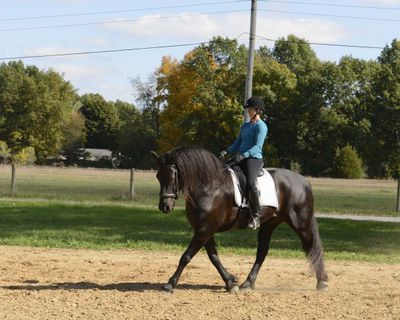 Talented Mare Friesian Horse