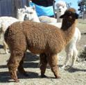 Alpaca Herd Reduction