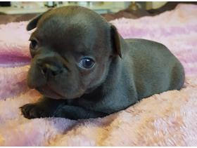 kc reg quality Frenchie pups in Wolverhampton