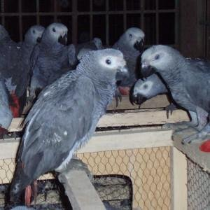 Parrots,Macaw,Peacock and Eggs available at exoticpets2000@yahoo.com (Pets & Animals - Birds) in