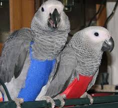 Welcoming , Nice Macaw Parrots and Afrinca Gray Including Cage (Pets & Animals - Birds) in All C