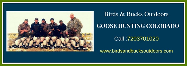 Goose hunting in Colorado (Pets & Animals - Birds) in Colorado