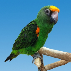 Jardine parrots for sale (Pets & Animals - Birds) in All Cities - 1