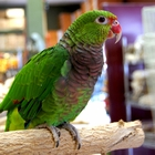 Vinaceous Amazon for sale (Pets & Animals - Birds) in All Cities - 1