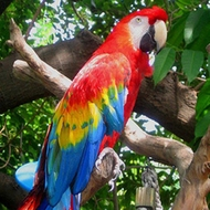 Scarlet Macaw for sale (Pets & Animals - Birds) in All Cities - 1