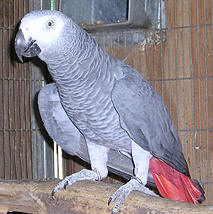 Birds for sale (Pets & Animals - Birds) in All Cities