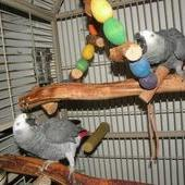 DNA AFRICAN GREY PARROTS FOR CHRISTMAS (Pets & Animals - Birds) in All Cities